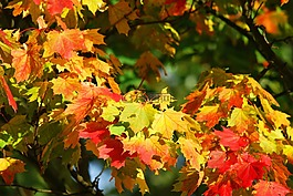 秋季,树,叶子