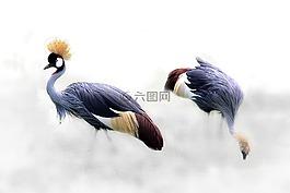灰色丹頂鶴,起重機,鳥