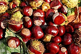 板栗,七叶树,水果