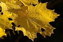 秋季,秋天的落叶,金色的秋天