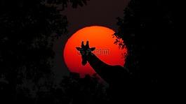 长颈鹿,动物,非洲