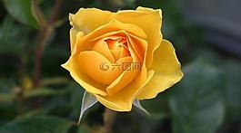 玫瑰,花,黄色