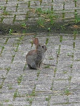 兔子,年轻的兔子,性质
