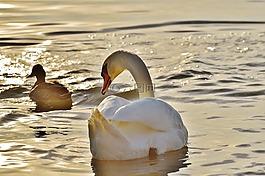 天鵝,鴨,水