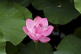 莲花,大自然,植物