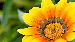 黄色,自然,花
