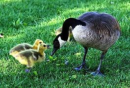 加拿大鹅,母亲节,蓬松