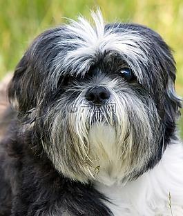 狗,西施,肖像