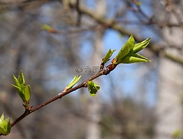 新梅花叶,梅树,开花