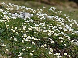 新仙女木 octopetala,花,开花