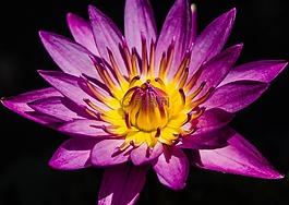 水百合,漂亮的紫色的水百合,睡蓮