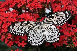 蝴蝶,白,黑