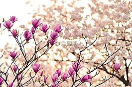 日本,景觀,春天