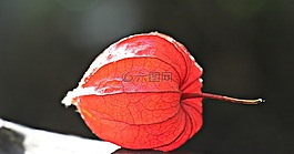 lampionblume,酸浆,观赏植物