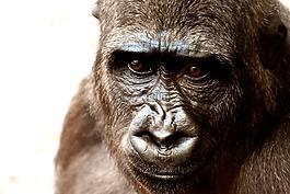 大猩猩,猴子,动物