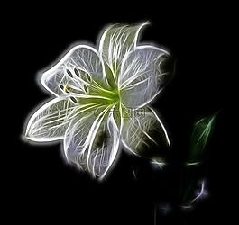 白,百合,花