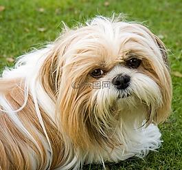狗,西施,可愛
