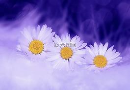 雛菊,鮮花,白