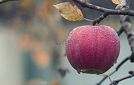 苹果,秋天,多汁