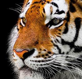 动物,虎,猫