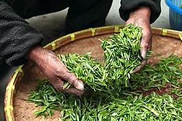 茶葉,農舍,茶