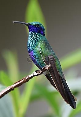 蜂鳥,鳥,自然