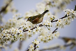 開花,白,鳥