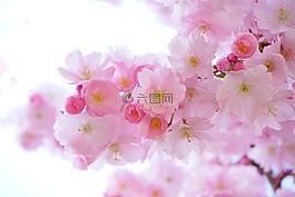 日本櫻花樹,鮮花,春天