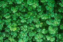 三叶草,厂,绿色