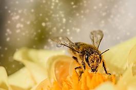 蜜蜂,昆虫,动物