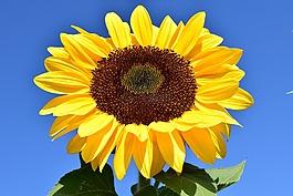 太阳花,黄色,夏季