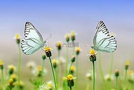 蝴蝶,昆虫,特写