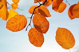 叶子,秋季,橙