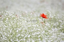罂粟,丝石竹,红色