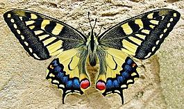 蝴蝶,燕子尾蝶,昆虫