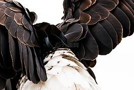 羽毛,禿頭鷹,白頭
