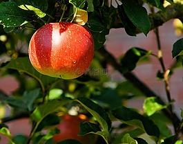 蘋果樹,科,蘋果