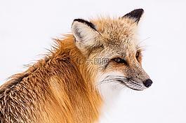 紅狐,野生動物,雪