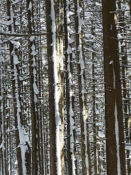 杉木,冷杉,樹木