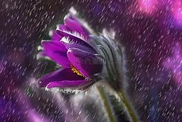 pasque 花,花,雨