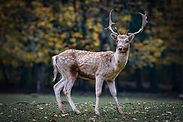 性質,獐鹿,森林