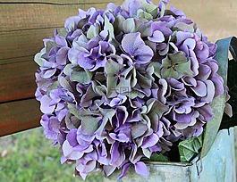 八仙花,花,开花