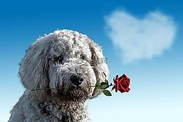 情人節,狗,動物