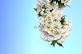 花卉,櫻桃,春天
