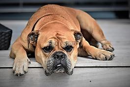狗,动物,大陆的斗牛犬
