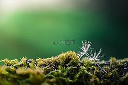 蒲公英,绿色,自然