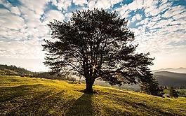 樹,黎明,性質