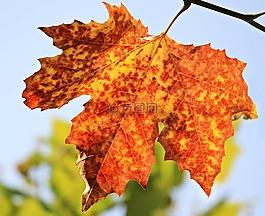 秋季,秋叶,叶子