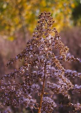 秋,加拿大一枝黄花,干厂