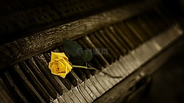 钢琴,玫瑰,黄色